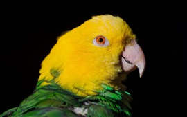 Preview wallpaper Yellow head parrot close-up