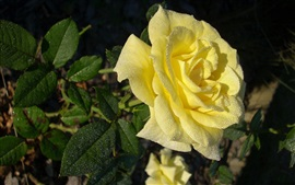 Preview wallpaper Yellow rose, water drops, morning