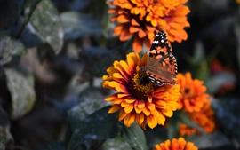 Flores de zinnia, pétalos de naranja, mariposa