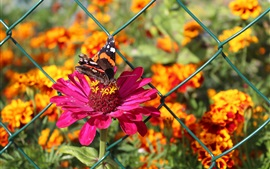 Preview wallpaper Zinnia flowers, pink petals, butterfly, fence