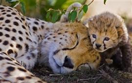 Aperçu fond d'écran Afrique, kenya, grand, chat, guépard, petit