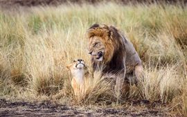 Africa, lion, father and cub