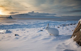 Preview wallpaper Arctic hare, Canada, snow