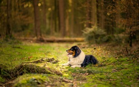 Preview wallpaper Australian shepherd dog, forest, grass