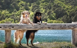 Preview wallpaper Australian shepherd dogs stand up, look, wet
