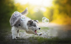 Preview wallpaper Australian shepherd play bubbles