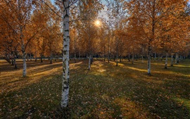 Preview wallpaper Autumn, birch trees, sunshine