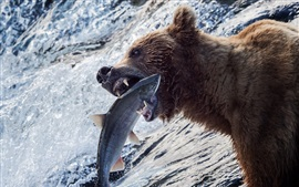 Preview wallpaper Bear catch a fish, river, water, Alaska