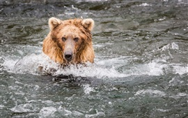 Bear fishing in the water, wet