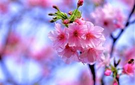 Sakura cor-de-rosa bonita, flores florescem, primavera