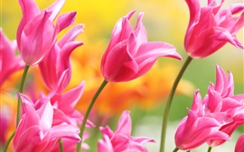 Preview wallpaper Beautiful pink tulips, petals, buds