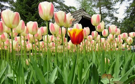 Preview wallpaper Beautiful tulips, flowers field