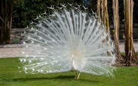 Красивые белые перья павлина