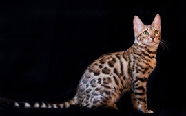 Preview wallpaper Bengal cat, black background