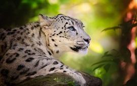 Grande gato, leopardo de neve