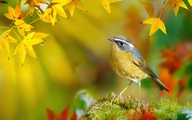 Preview wallpaper Bird in the autumn, yellow maple leaves
