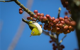 Preview wallpaper Bird look down, berries, twigs