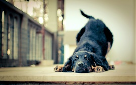 Preview wallpaper Black dog playful