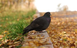Preview wallpaper Black pigeon in autumn, yellow leaves
