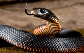Черная змея, гадюка