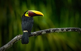 Preview wallpaper Black toucan in rain