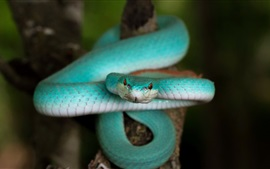 Blue Trimeresurus cobra