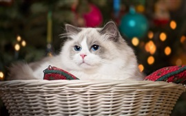 Blue eyes cat, basket
