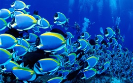 Preview wallpaper Blue fish, sea, underwater