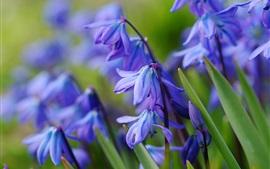 Голубые цветы первоцвета, весна