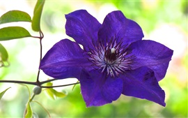 Preview wallpaper Blue purple clematis flower macro photography