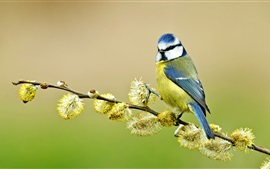 Preview wallpaper Blue tit, twigs, spring