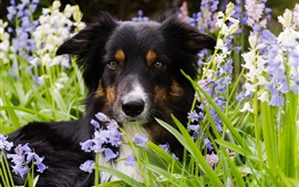Border collie, perro, hierba, flores