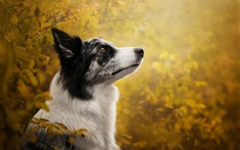 Preview wallpaper Border collie, dog, look, blurry background
