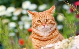 Vista frontal de gato, marrón, bokeh