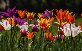 Preview wallpaper Colorful tulips flowers, spring