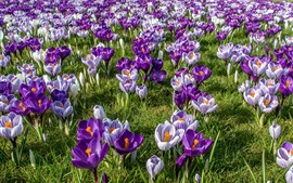 Preview wallpaper Crocuses field, spring