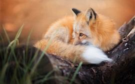 Симпатичная лиса отдыха, хвост, взгляд, глаза