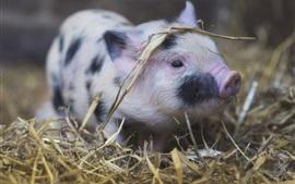 Cute pet pig