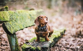 Dachshund dog, brown, bench