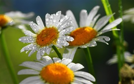 Preview wallpaper Daisy, white petals, water drops