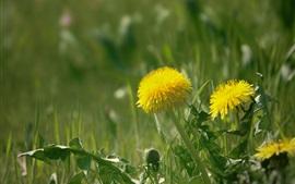 Dandelions, flores amarelas