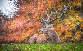 Олень отдыхает на траве, рогах
