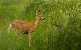 Preview wallpaper Deer standing in grass