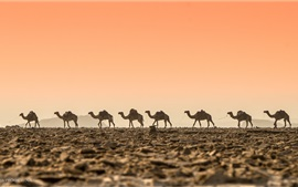 Preview wallpaper Desert, camels, dawn