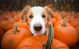 Preview wallpaper Dog and many pumpkins