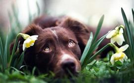 Descansar cachorro em narcisos
