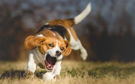 Cão corre para pegar uma bola
