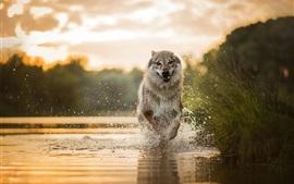 Собака работает в воде, всплеск