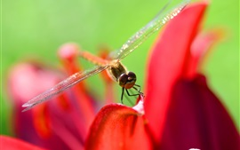 Preview wallpaper Dragonfly, red petals, macro photography