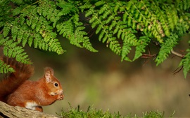 Preview wallpaper Fern leaves, squirrel
